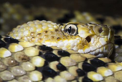 Serpiente de cascabel en reposo.