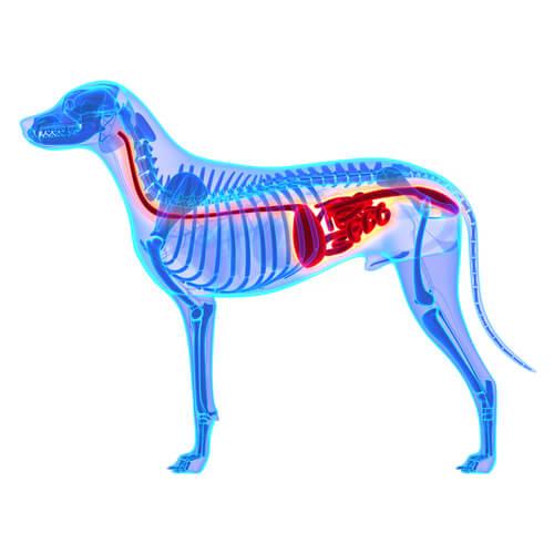 Ilustración en 3D del sistema digestivo del perro.