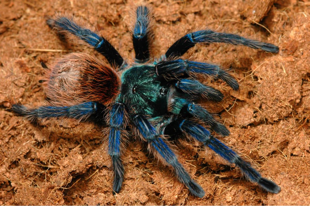 Una tarantola blu-brunastra.