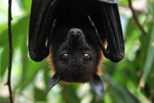 El murciélago frutero tiene cierto parecido con el zorro.