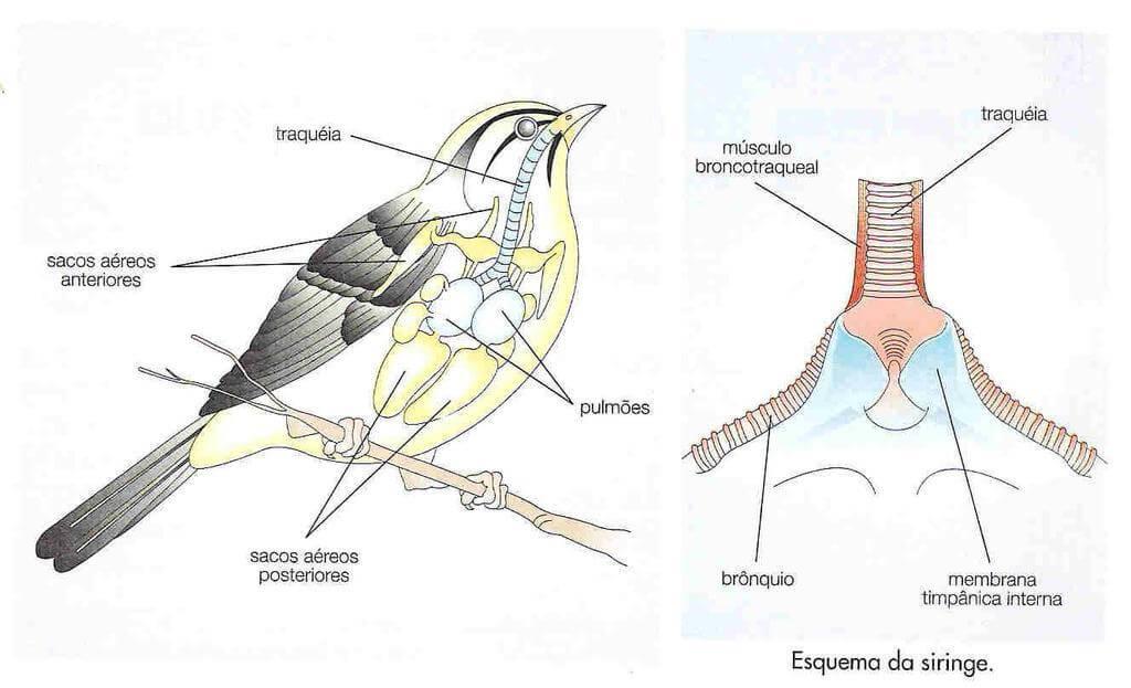 El aparato fonador de las aves.