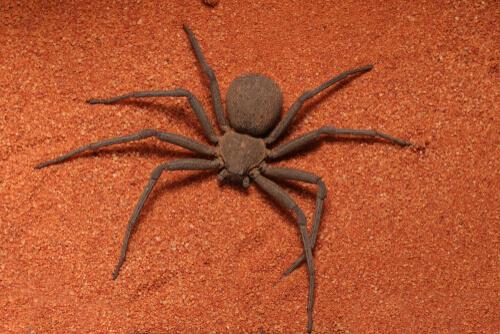 Las arañas sicario y su verdadera letalidad