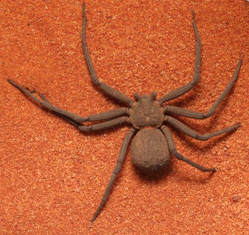 Otro ejemplar de araña sicario