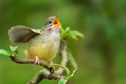 Aprende a identificar cantos de aves desde casa
