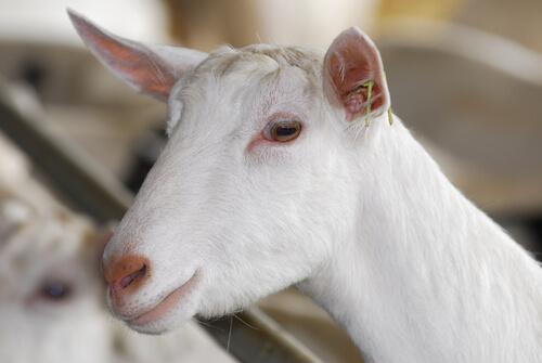 La cabra Saanen es la mejor lechera del mundo.