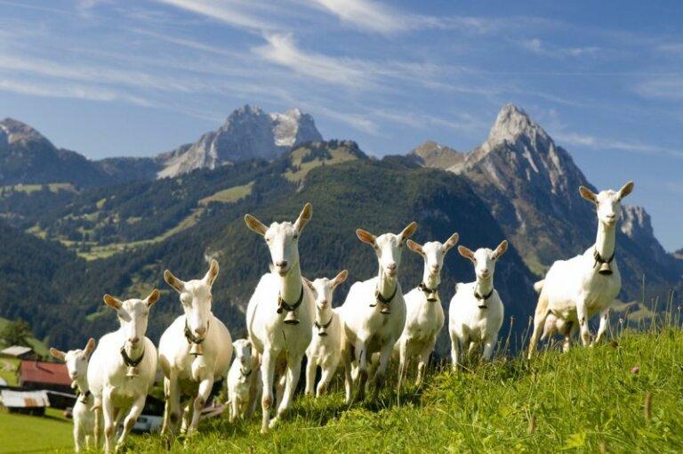 La cabra suiza Saanen: la mejor lechera del mundo