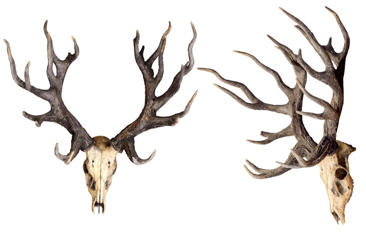 La calavera de un ciervo.
