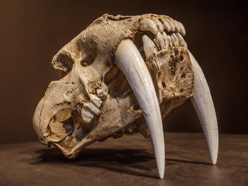 El tigre dientes de sable: el felino más temible