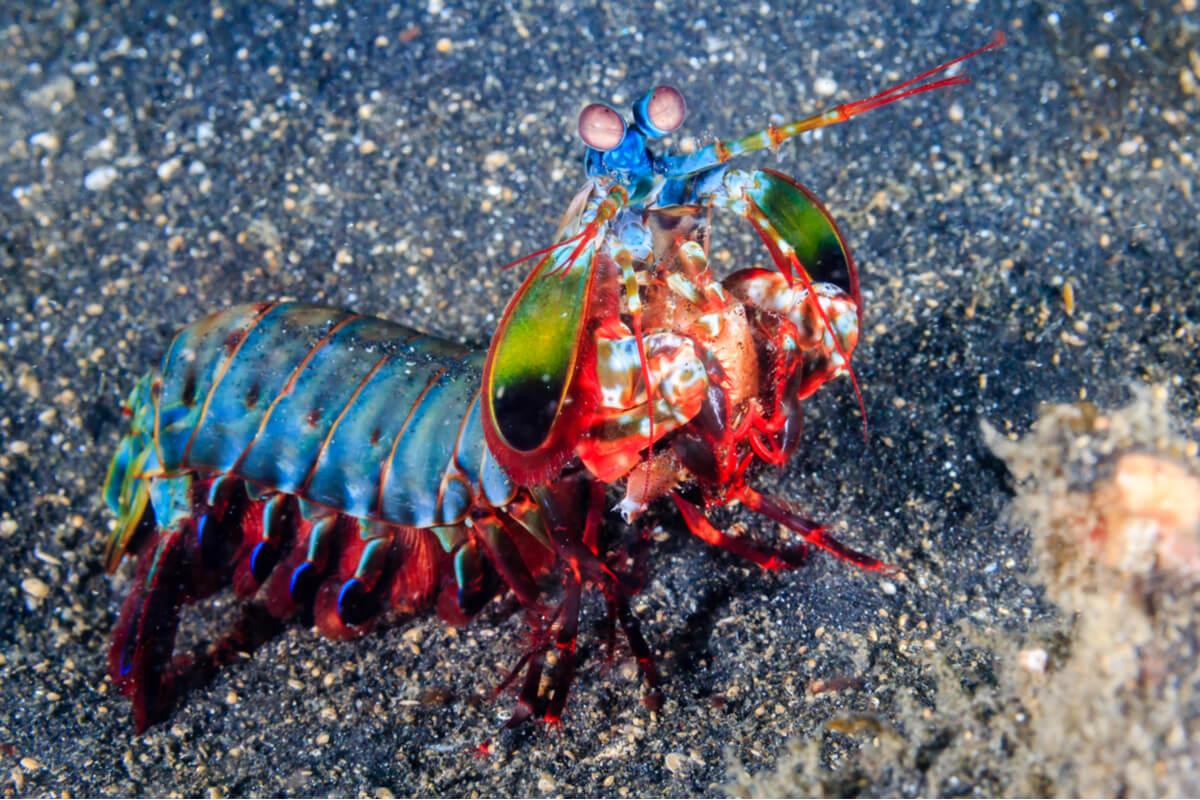 Camarones mantis: los imbatibles noqueadores marinos