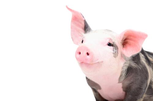 Esterilizar cerdos: ¿cuándo hacerlo?