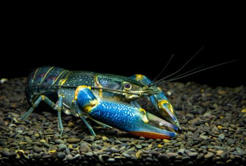 El cangrejo azul de río: un ser de Oceanía