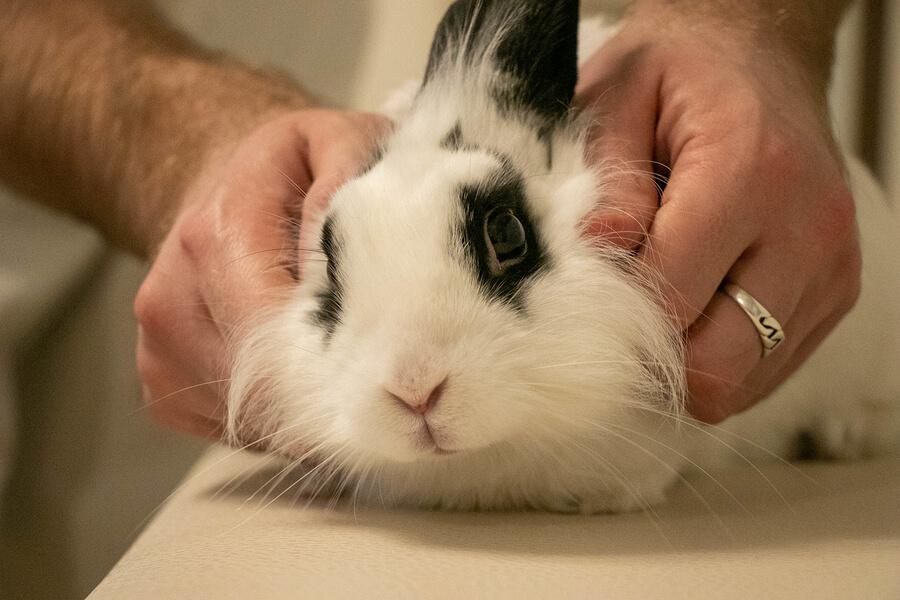 Conejo doméstico siendo sujetado durante una consulta.