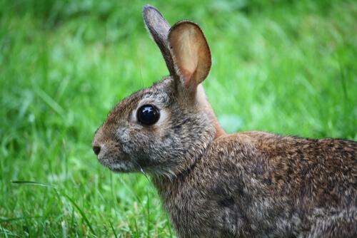 La mixomatosis diezmó poblaciones de conejos en todo el mundo