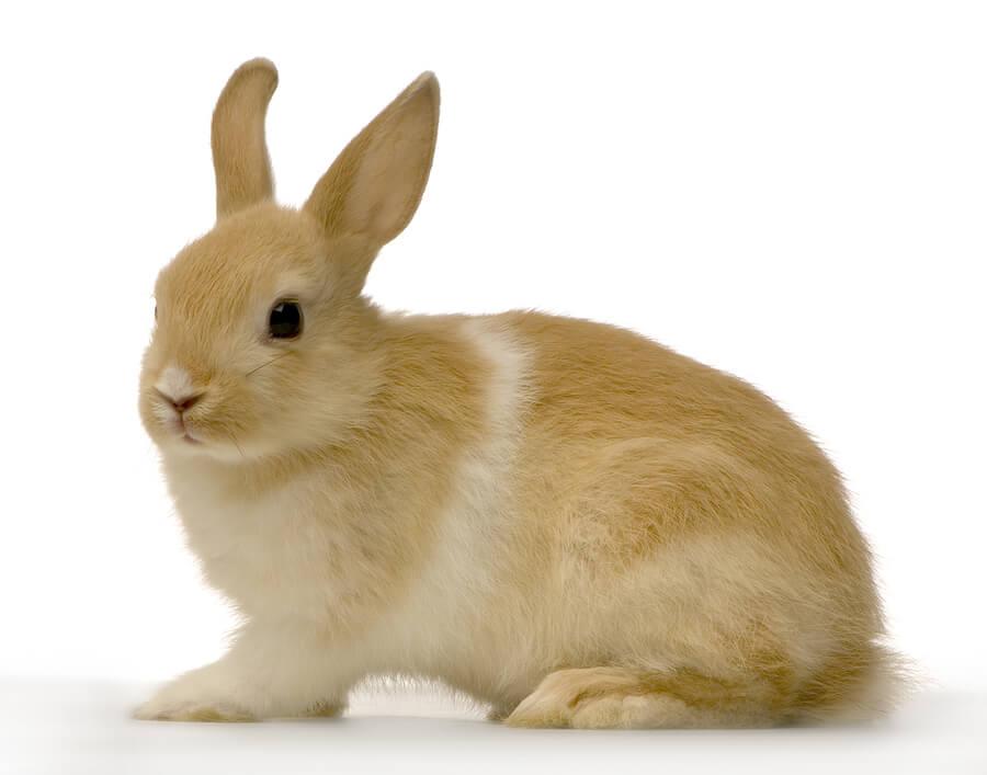 Conejo doméstico de color marrón.