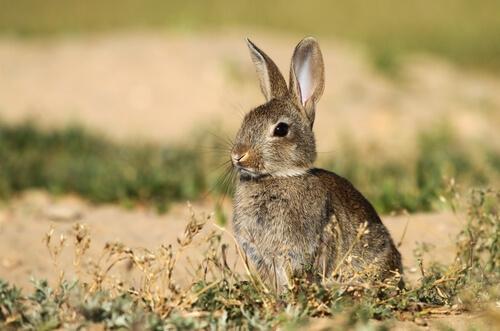 Importancia del conejo en el ecosistema mediterráneo