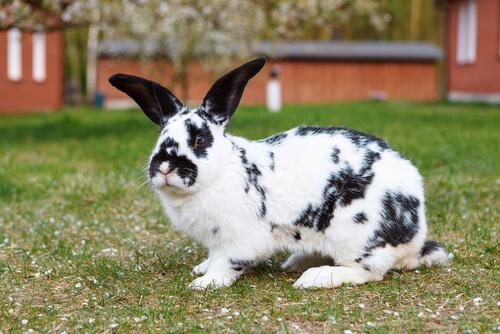 Conejo gigante blanco y negro.