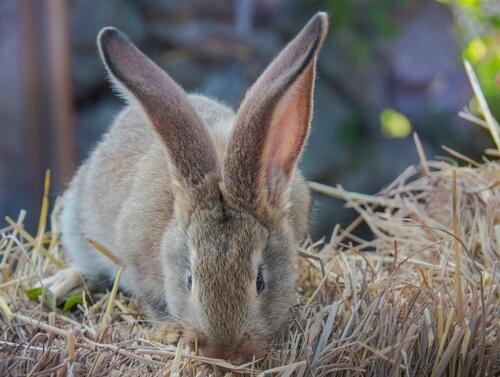 Conejo gigante continental comiendo.