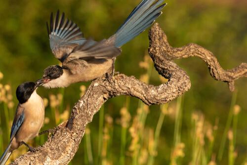 Un corvido macho se gana la atencion de la hembra