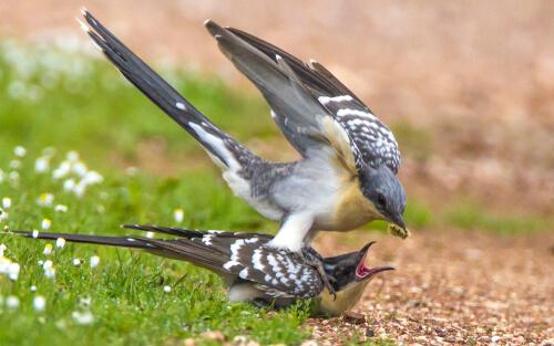 Críalo adulto alimentando a su cría.