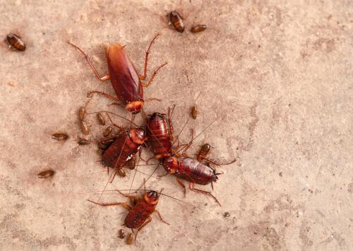 Cucarachas grandes y pequeñas.
