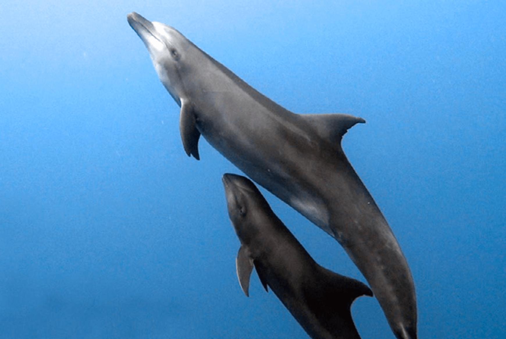 Madre delfín nadando junto a su cría.
