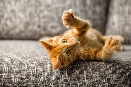 Un gato doméstico mostrando sus garras.