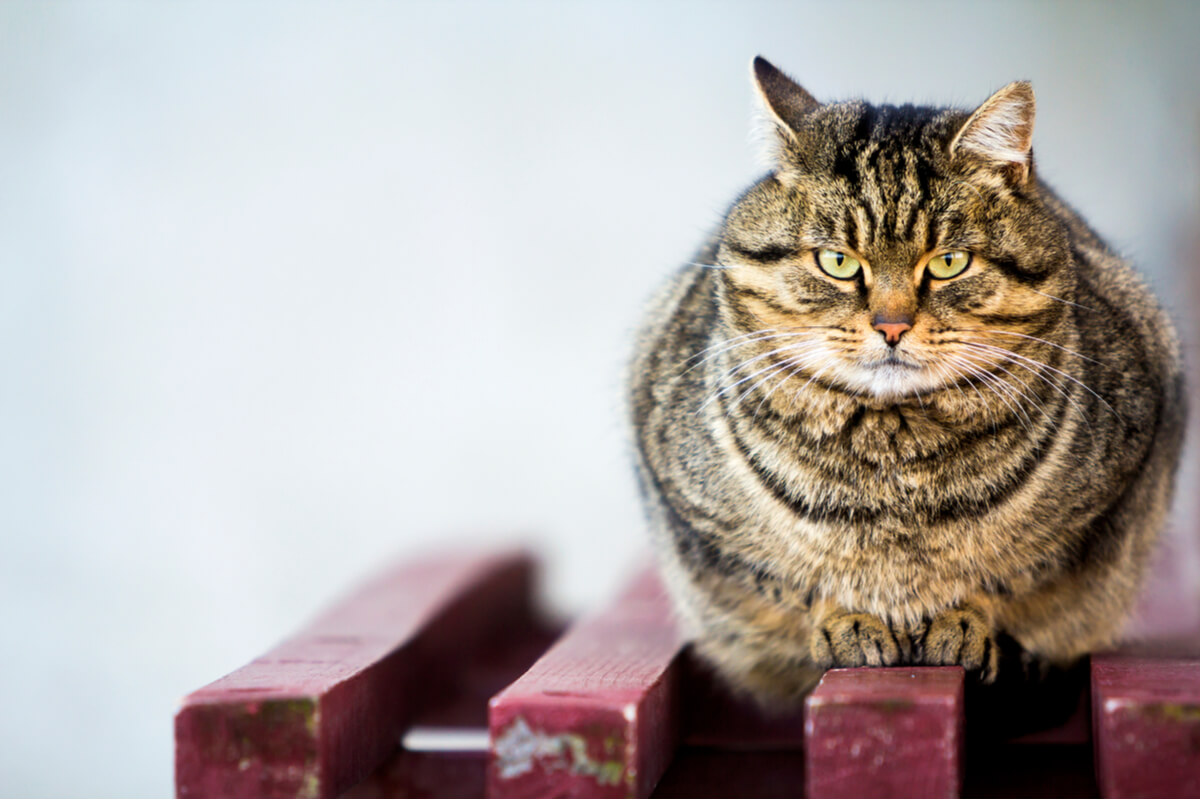Un gato con sobrepeso mira a cámara.