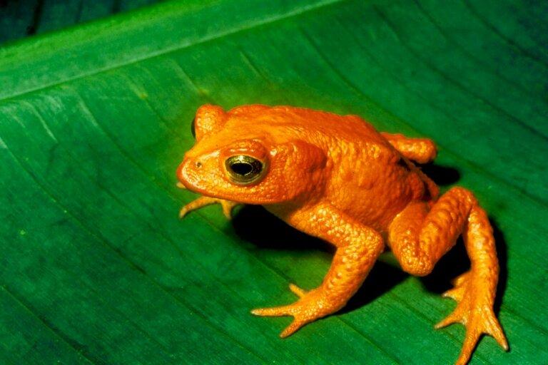 El sapo dorado: una víctima del calentamiento global