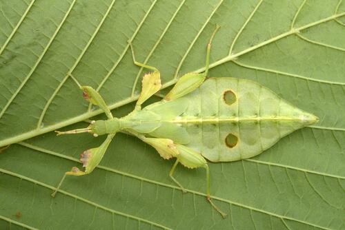 Insecto hoja hembra.