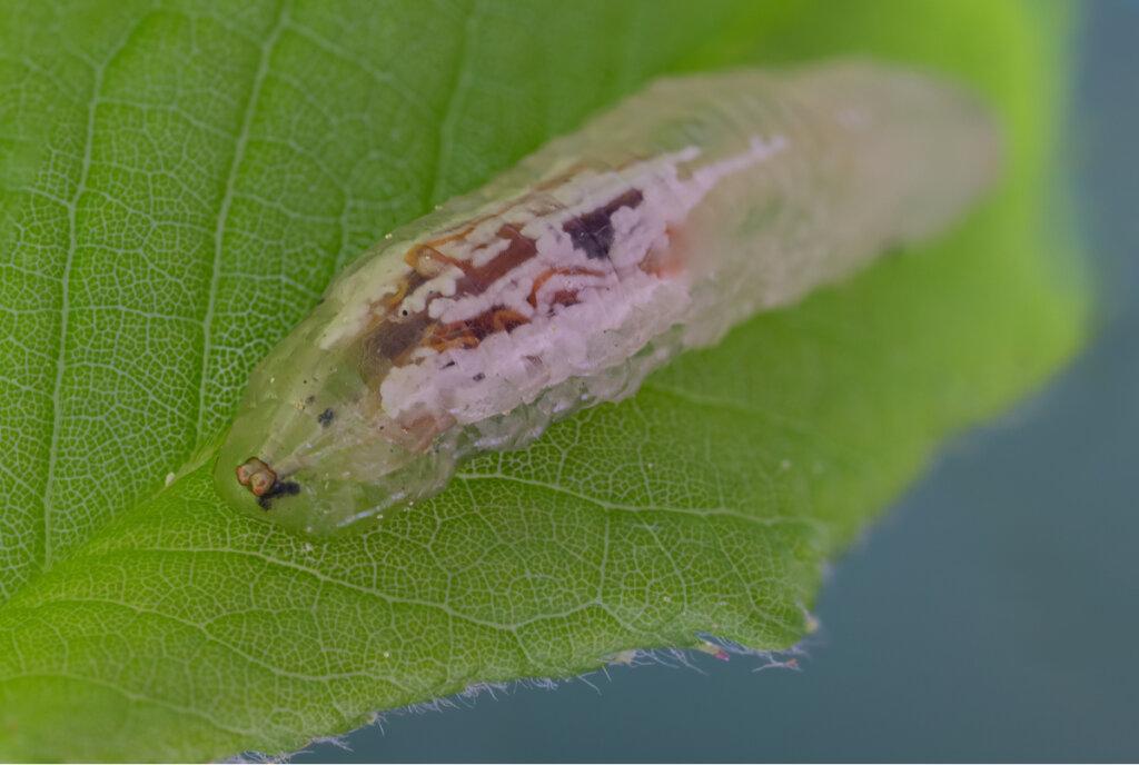 Larvas de sírfidos: la pesadilla de los pulgones
