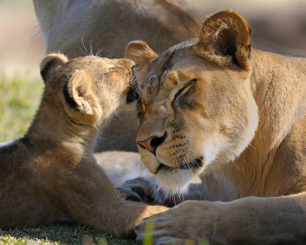 La leona: inteligencia, estrategia e instinto maternal