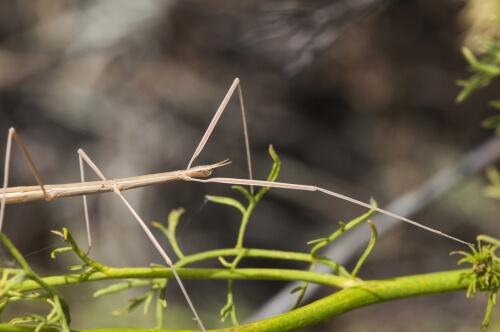 Leptynia hispanica, el insecto palo ibérico.