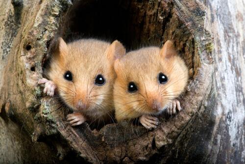 La hibernación del lirón, el roedor dormilón