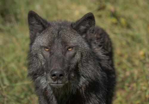 Lobo negro norteamericano.
