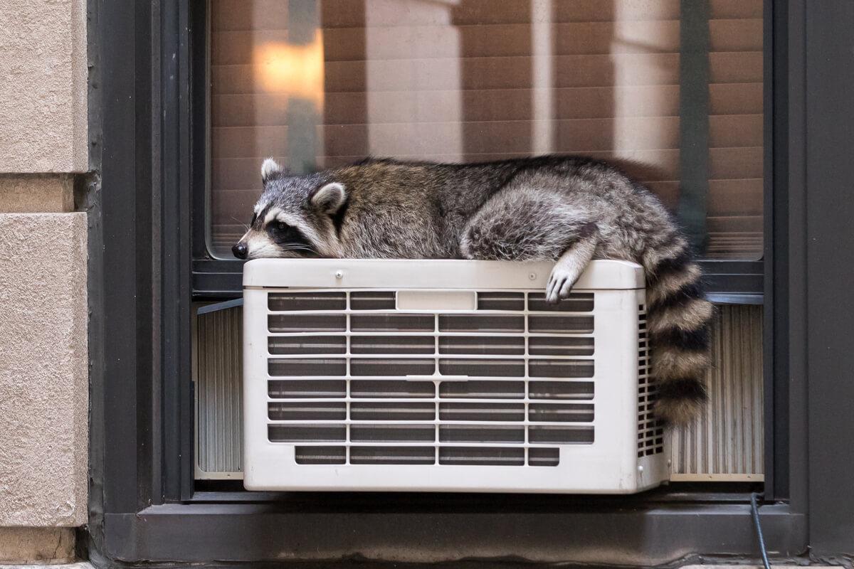 Un procione che termoregola il condizionatore.