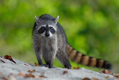 Los mapaches son hospedadores de parásitos