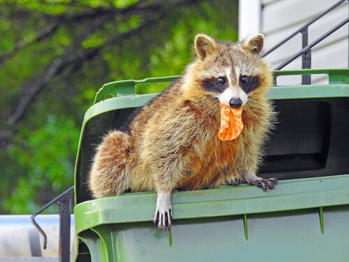 El mapache y Baylisascaris procyonis