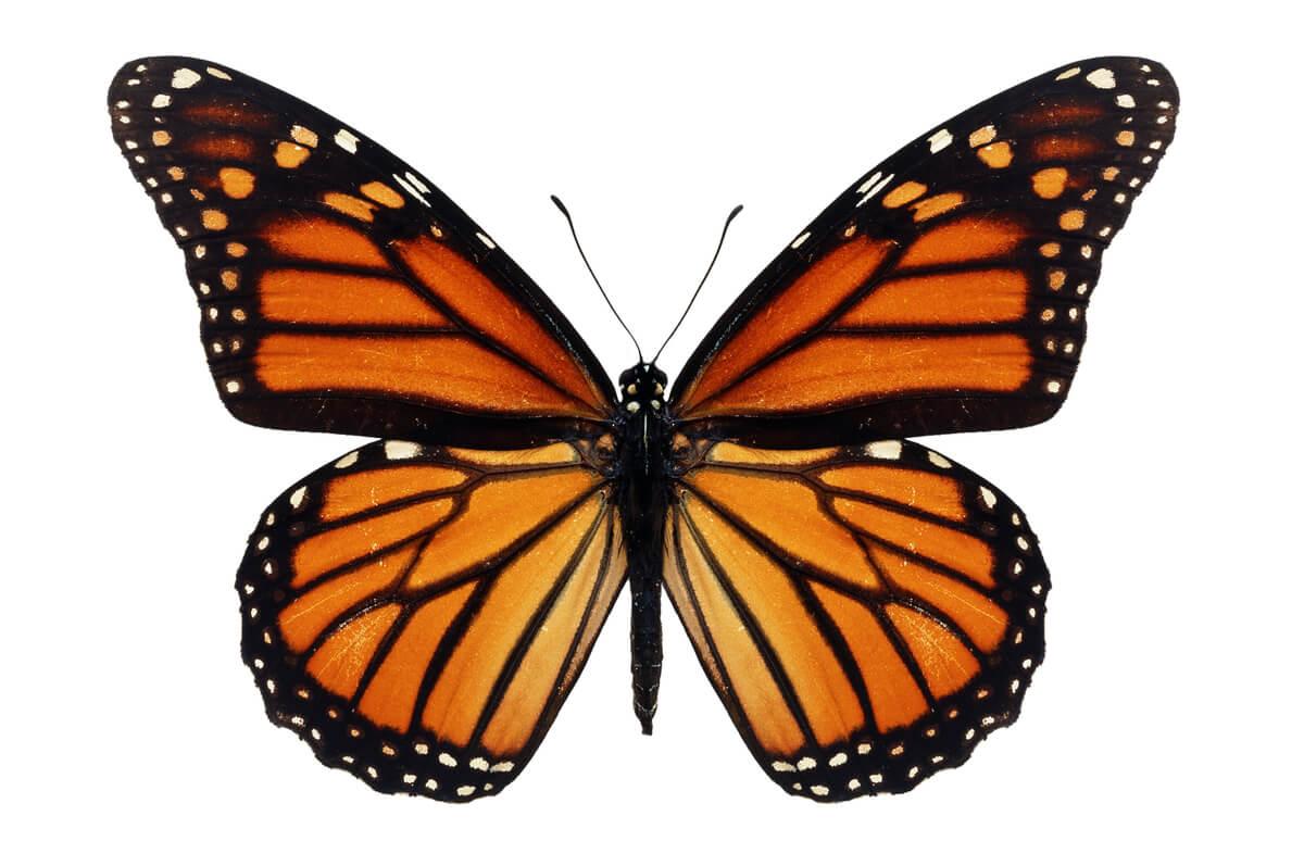 Dos mariposas monarca posadas en una flor.