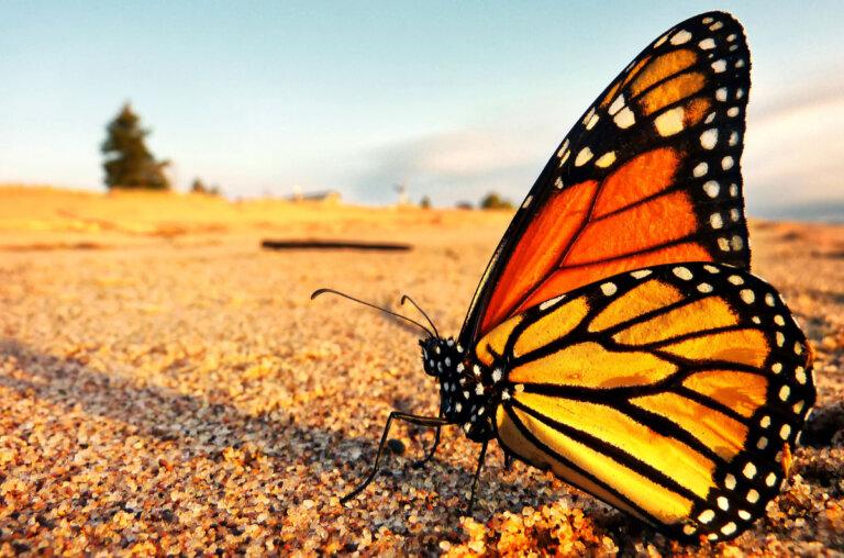 La mariposa monarca está en peligro de extinción