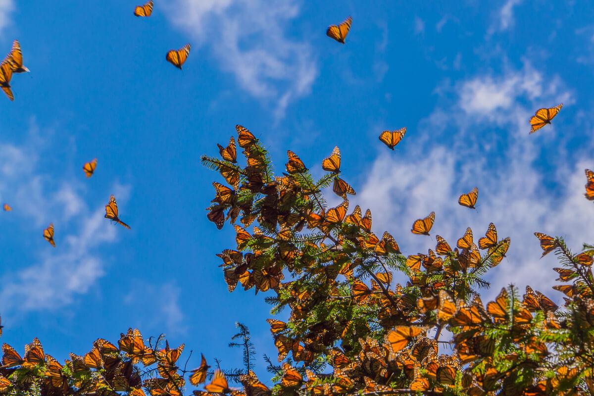 Mariposas monarca en el cielo.