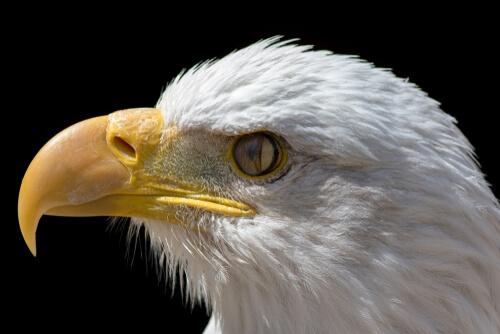 Membrana nictitante observada en un águila.