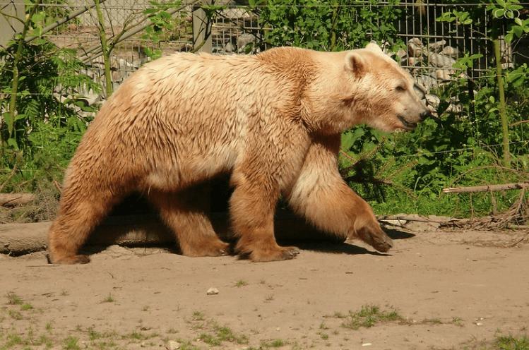 Ejemplar de oso grolar marrón.