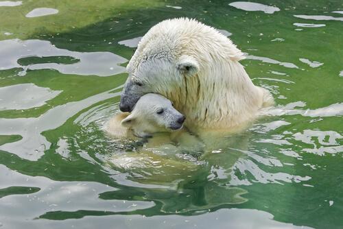 Oso polar con su cachorro en el agua.