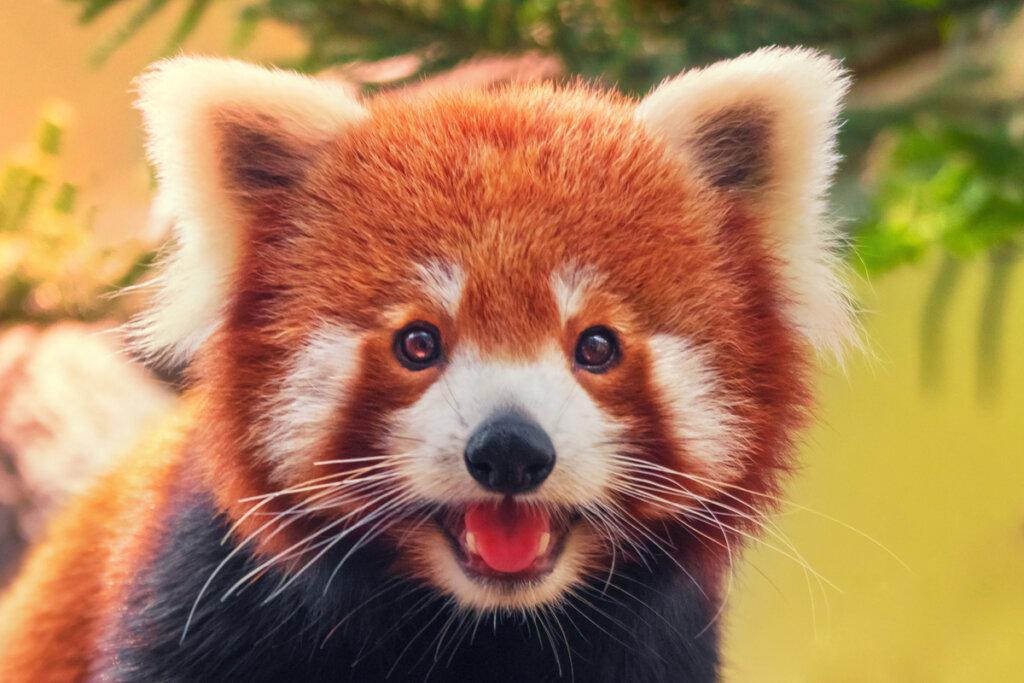 El comportamiento de los pandas rojos