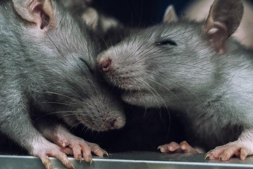 ¿Por qué las ratas evitan lastimar a sus congéneres?