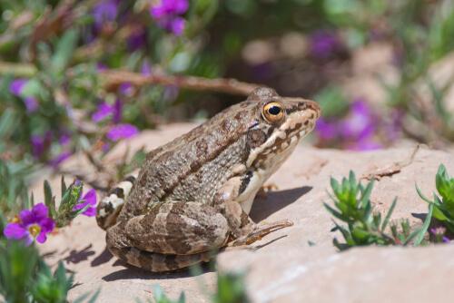 Rana Pelophylax perezi.