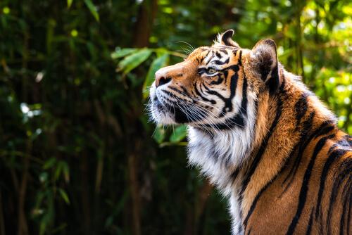 La senda del tigre, el documental sobre el tigre siberiano