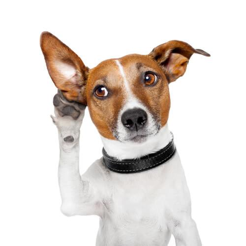 ¿Cómo saber si le pican las orejas a tu perro?