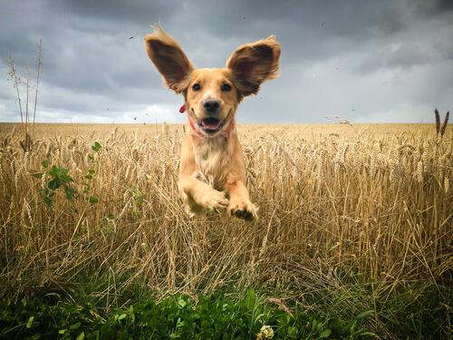 Un perro juega libre en el campo con sus orejas levantadas.