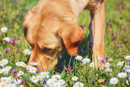 La manzanilla, una planta medicinal para las mascotas